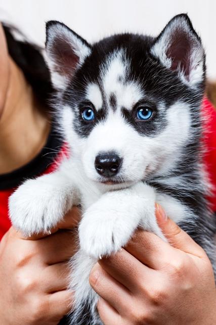 Siberian Husky Puppy Cruiseexperts