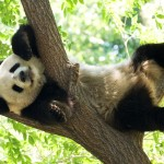 dp-giant-panda-07182014-lo