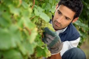 Barcelona-Wine-Grapes