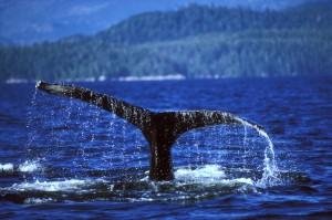 ii-Whale-Tail
