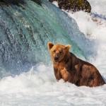 ii-alaska bear 2