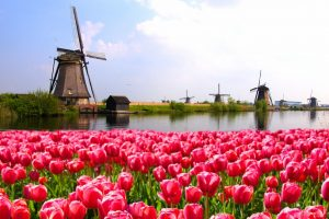 best time to see tulips in amsterdam