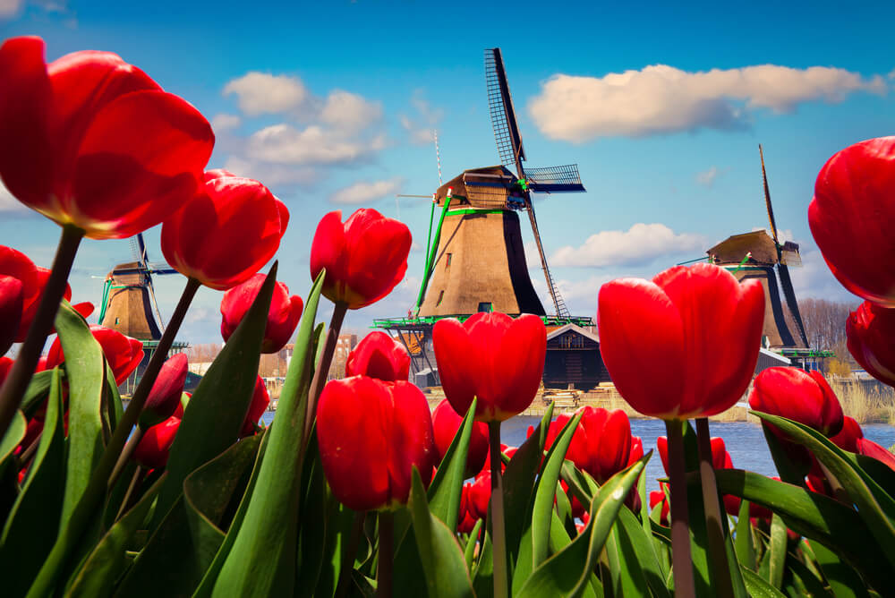 Tulip Season in Amsterdam